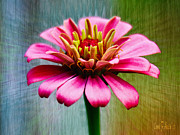 Carol F Austin - Pink Zinnia Close-up