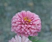 Kim Hojnacki - Pink Zinnia Flower