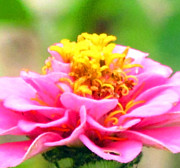 Joy Neasley - Pink  Zinnia in China
