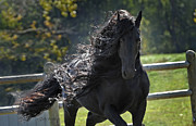 Black Stallions Prints - Pinnacle of Friesians Print by Pinnacle Friesians