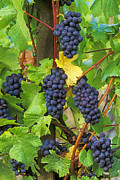 Pinot Noir Photos - Pinot Noir Grapes by Greg Vaughn