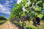 Wine Grapes Prints - Pinot Noir Grapes in Niagara Print by Charline Xia