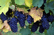 Pinot Framed Prints - Pinot Noir Grapes Framed Print by Kevin Miller