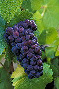 Pinot Noir Photos - Pinot Noir by Greg Vaughn