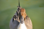 James Lewis Metal Prints - Pintail Drake  Metal Print by James Lewis