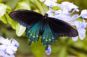 Beauty Art - Pipe vine swallowtail butterfly by Oscar Gutierrez