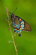 Pipevine Swallowtail Print by Anthony Heflin