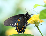 Pipevine Swallowtail Butterfly Prints - Pipevine Swallowtail Butterfly - 1 Print by Ely Arsha