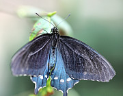 Pipevine Swallowtail Butterfly Prints - Pipevine Swallowtail Butterfly - 2 Print by Ely Arsha