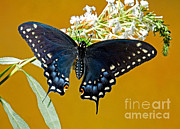 Papilionidae Prints - Pipevine Swallowtail Butterfly Print by Millard H. Sharp