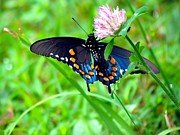 Swallowtail Photos - Pipevine Swallowtail Hanging On by Carol R Montoya