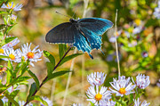 Nc Photos - Pipevine Swallowtail on Asters by John Haldane