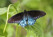Nature Cards Photos - Pipevine Swallowtail on Plant by Carol Groenen