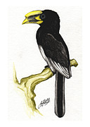 Hornbill Painting Framed Prints - Piping Hornbill Framed Print by Justin F C Miller