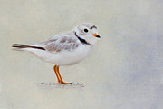 Coastal Birds Framed Prints - Piping Plover Framed Print by Bill  Wakeley