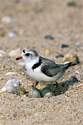 Piping Prints - Piping Plover Charadrius Melodus Print by Tom Vezo