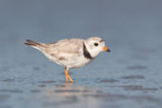 Piping Prints - Piping Plover I Print by Clarence Holmes