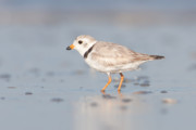 Piping Plover II Print by Clarence Holmes