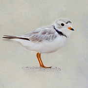 Sea Birds Prints - Piping Plover Square Print by Bill  Wakeley