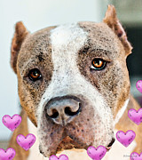 Dog Lover Digital Art Posters - Pit Bull Dog - Pure Love Poster by Sharon Cummings