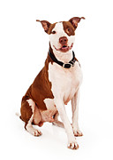Pit Bull Dog With Happy Expression Print by Susan  Schmitz