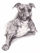 Terriers Drawings Prints - Pit Bull Portrait in Charcoal Print by MM Anderson