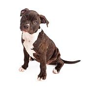 Pit Bull Puppy Black And White Print by Susan  Schmitz