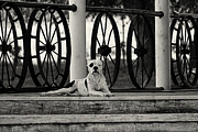 Watchdog Prints - Pit on the Porch  Black and White Print by Carolyn Pettijohn