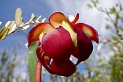 Sandra Updyke - Pitcher plant blossom  #2