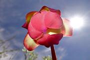 Sandra Updyke - Pitcher Plant blossom  #3