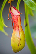 Eti Reid - Pitcher plant close up