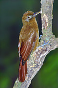Neotropical Posters - Plain-brown Woodcreeper Poster by Tony Beck