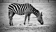 Cynthia Guinn - Plains Zebra