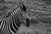 Shawn Colborn - Plains Zebra
