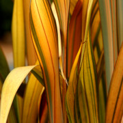 Swords Photos - Plant in Yellow and Green by Art Block Collections