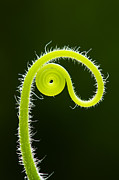 Backlit Prints - Plant tendril Print by Tim Gainey