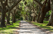 Live Oaks Photos - Plantation Road by Louise Heusinkveld