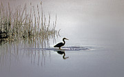 Wildlife Pics Prints - Platinum Heron Print by Skip Willits