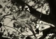 Jeff Breiman - Platinum Leaves 5