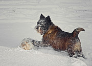 Cairn Terrier Photos - Play Ball by Odd Jeppesen