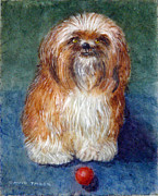 Shih Tsu Prints - Play Ball with Me? Print by David Tabor