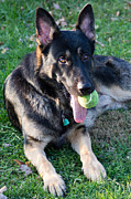 German Shephard Prints - Play Ball With Me Print by Deb Kline