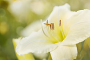 Daylily Photos - Play Misty for Me by Reflective Moments  Photography and Digital Art Images