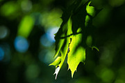 Fresh Green Posters - Play of light on maple leaves Poster by Alexander Senin