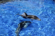 Jellyfish Pool Photos - Playful Dolphins by Brenda Kean