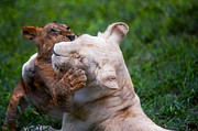 Mauritius Photos - Playful Kids. Two Lion Cubs by Jenny Rainbow