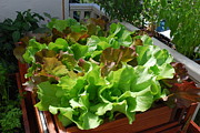 Lettuce Framed Prints - Playful Lettuce in Salad Tray Framed Print by Steve Masley