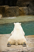 Playful Polar Bear Print by Adam Romanowicz