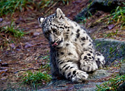 Photography Of Black Cats Photos - Playful Snow Leopard by Athena Mckinzie