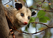 Possum Photos - Playing Possum by Nikolyn McDonald